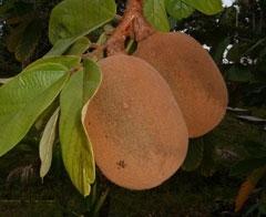 Extrato da semente do cupuaçu pode inibir ou diminuir a cárie