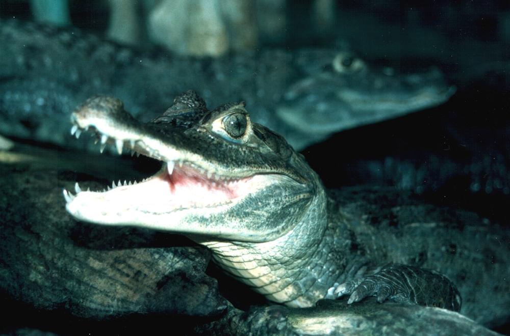 Casca de ovo de crocodilo pode ser  útil em tratamento dental